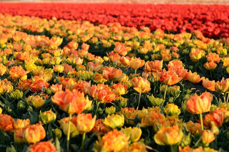 DSC_0478 tulips field Lisse
