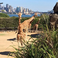 Sydney's giraffes have the best harbour views #tarongazoo #sydney #zoo #giraffes #newsouthwales #sydneyharbour #scenicviews
