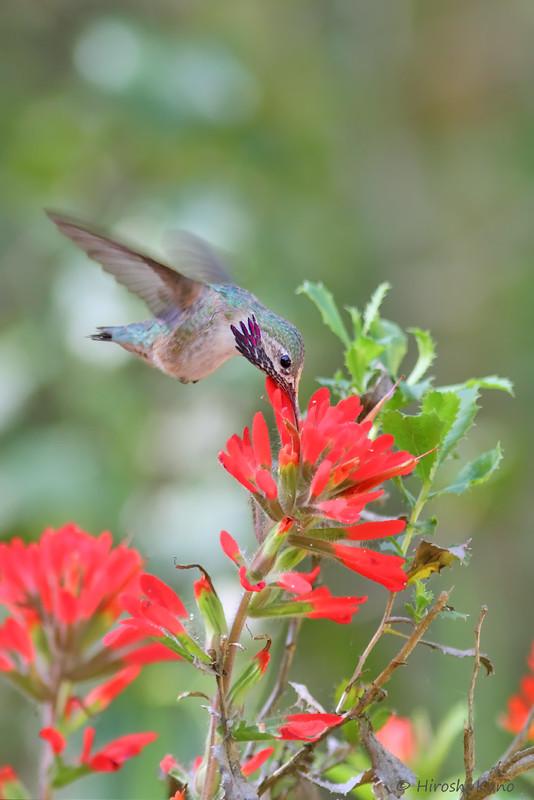 Calliope-Hummingbird-051014-6
