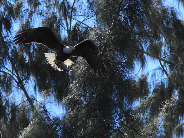 Bald Eagle female with fish 20150128