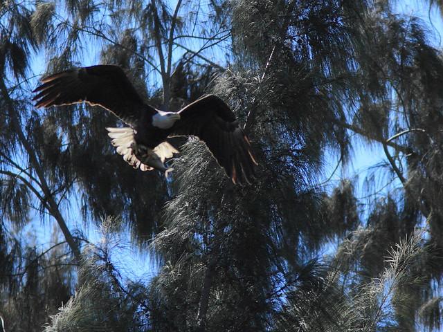 Bald Eagle female with fish 20150128