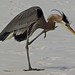 Great Blue Heron- Destin, FL. by showmesavings