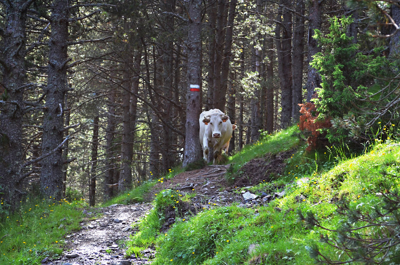 The Cow Trail Setcases, Pyrenees, Spain
