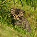 Wildcat Kitten by Sweetmart