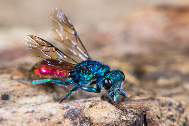 Ruby-tailed wasp (Chrysis sp.)