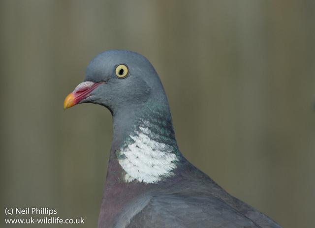 Wood pigeon Columba palumbus-4