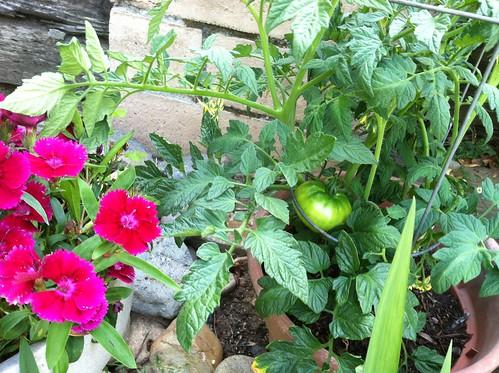 tomato May13