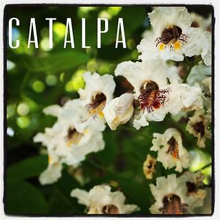 Garden Alphabet: Catalpa