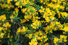 brassica(0.0), canola(0.0), shrub(0.0), mustard plant(0.0), common rue(0.0), plant(0.0), produce(0.0), hypericum(0.0), rapeseed(0.0), evergreen(1.0), flower(1.0), yellow(1.0), mustard(1.0), wildflower(1.0), flora(1.0), rue(1.0),