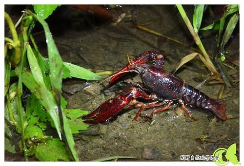 美國螯蝦。  呂軍逸拍攝。