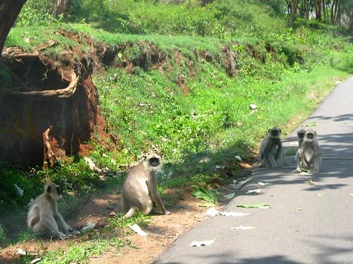 Road side Langurs