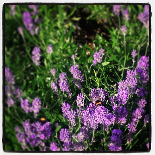 #bees-a-buzzing-#summer's finally here in the #purple #lavender bushes of #holland