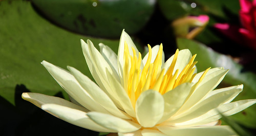waterlily_yellow