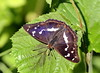 Purple emperor by Dean Eades - BirdMad
