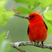 3rd Place - Fauna - Richard Youngblood - Scarlet Tanager
