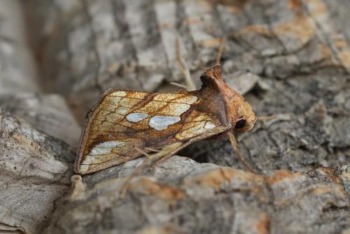Gold Spot (Plusia festucae)