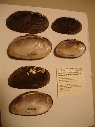 Photo set of Freshwater Mussels