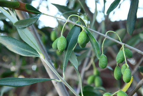California90 Olives - another month it will be ripe