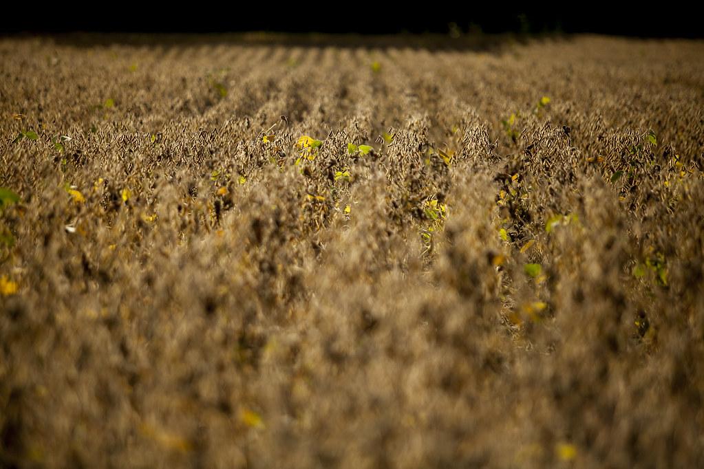 Golden Soybeans