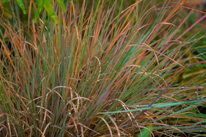 little bluestem  3629
