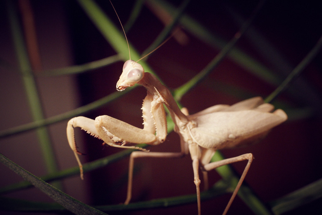 Sphodromantis family