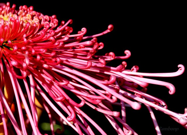 Chrysanthemums Show Chandigarh !