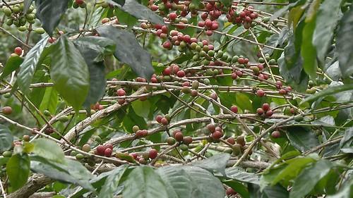 結石累累的咖啡豆。
