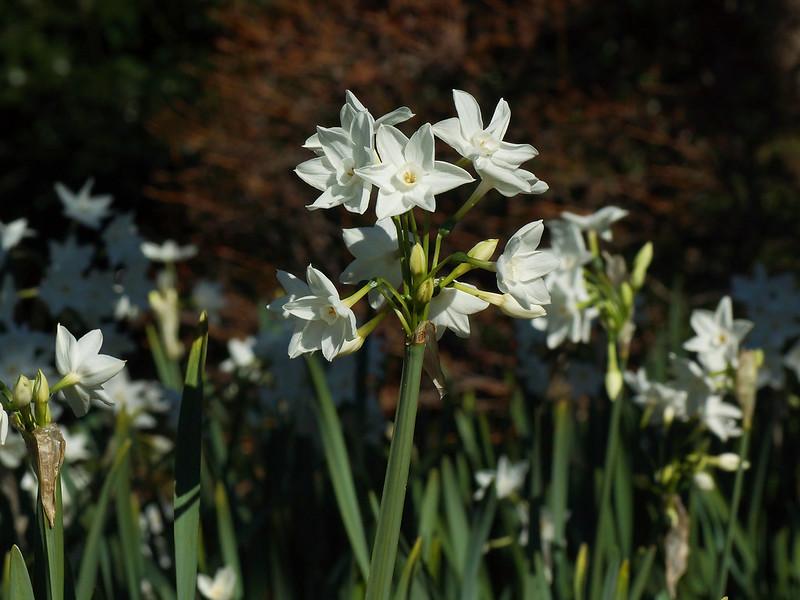 Narcissus papyraceus  ペーパーホワイト