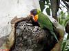 022 Rainbow Lorikeet at nest hole by Jen 64