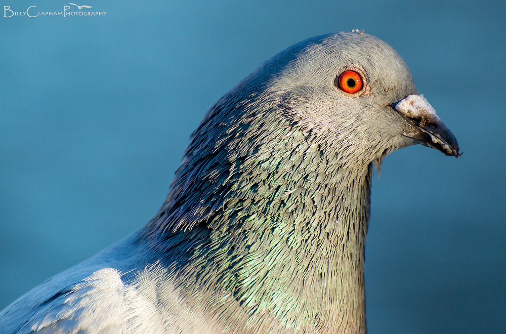 Billy Clapham pigeon wildlife photography bird Nikon D3200 70-300mm