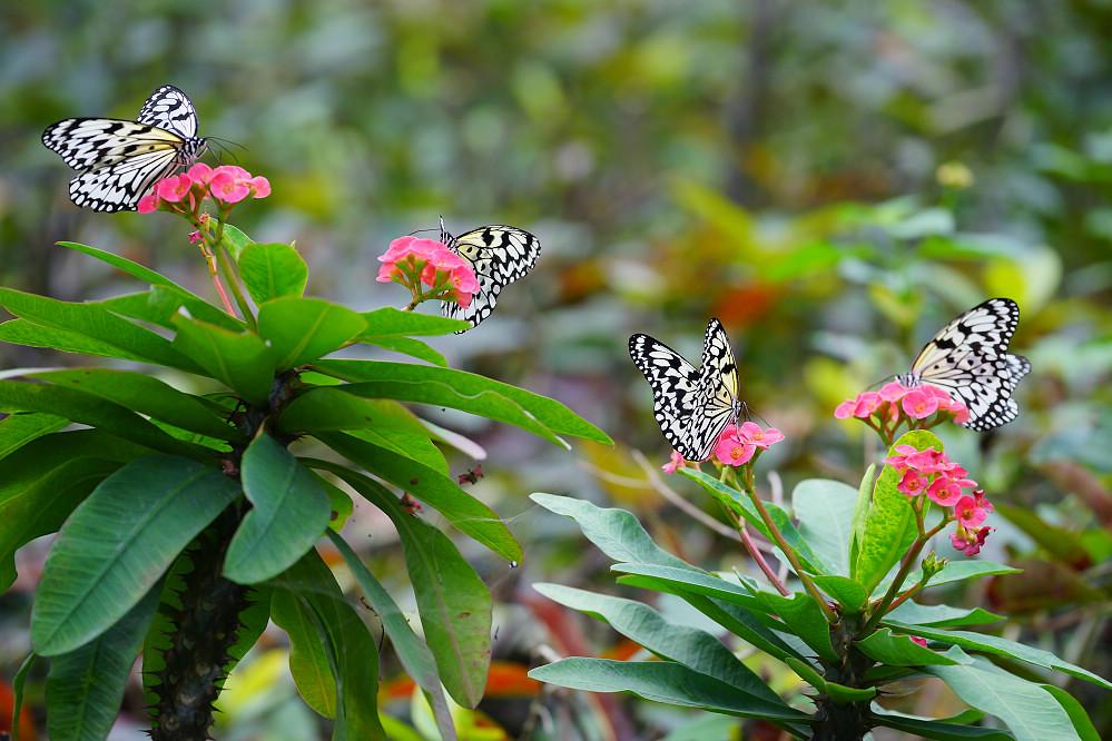 白斑蝶屬大白斑蝶03
