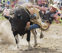 animal sports, rodeo, cattle-like mammal, bull, event, sports, charreada, bull riding,