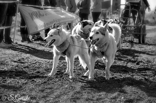 080314hundeschlittenrennenb008sg
