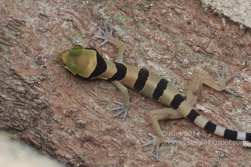 Cyrtodactylus pulchellus IMG_8369 copy