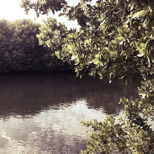 Thicket of mangroves.
