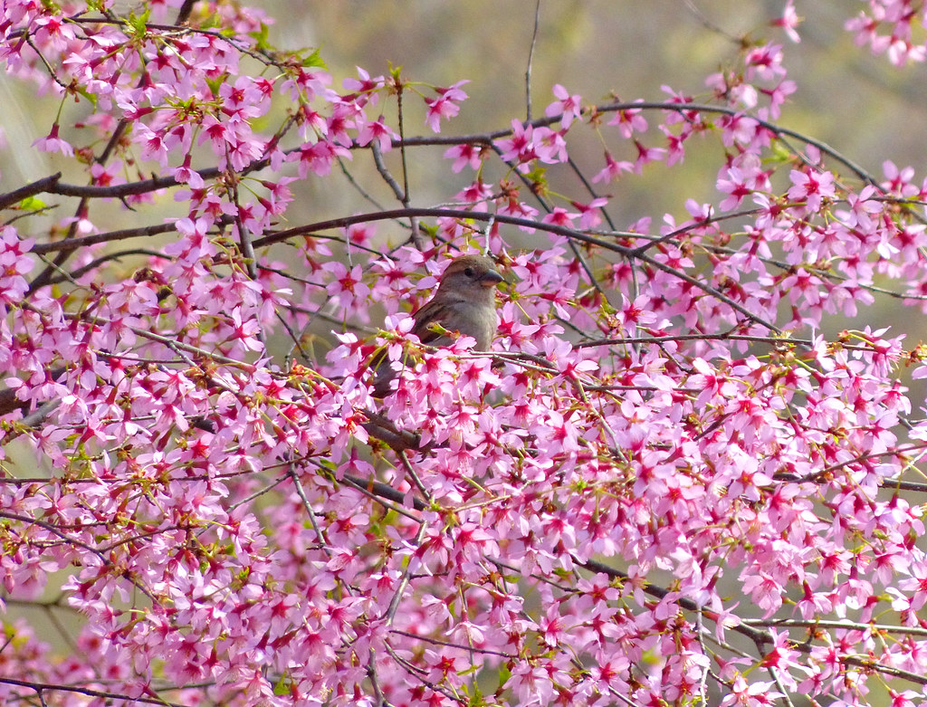 Sparrow in a sea of pink