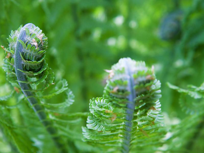Spring fern. Striyskiy park. Lviv, Ukraine