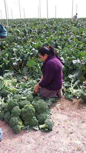 Comienza producción de hortalizas invernadero en Palma de la Cruz