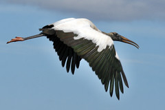 wood stork IMG_1689a