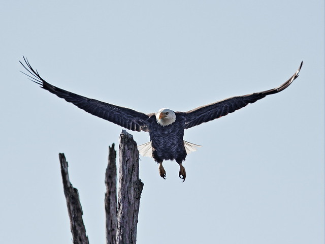 Bald Eagle male returns to roost 20150128