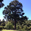 A very large tree in the Dunedin Botanic Gardens, 12:30pm Feb. 18.