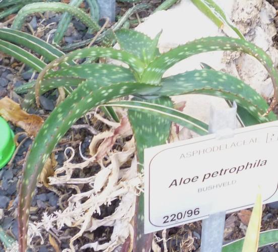 Aloe petrophila 16579877471_ae0cf218e0_o