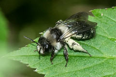 HolderAshy Mining Bee- Andrena cineraria