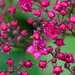 Small photo of Japonica Spiraea