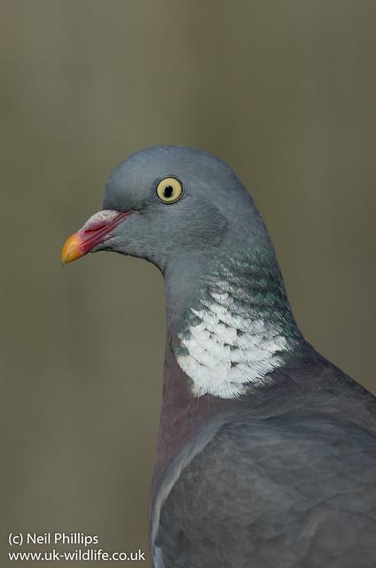 Wood pigeon Columba palumbus-10