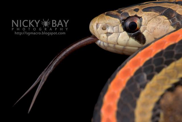 Striped Kukri Snake (Oligodon octolineatus) - DSC_3639