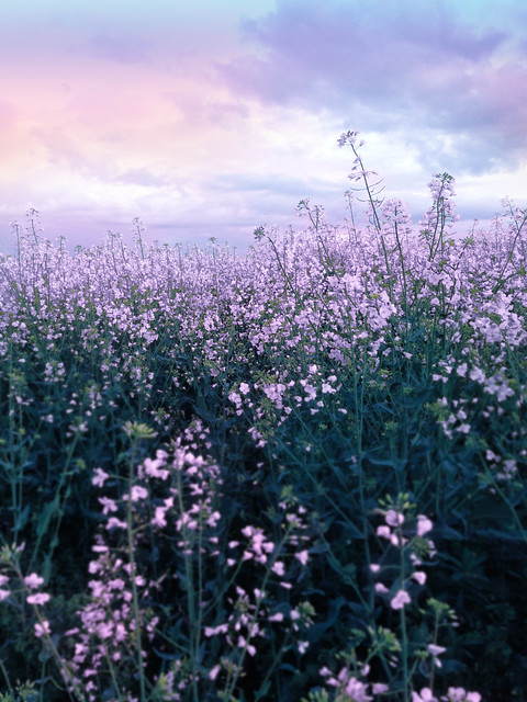 Free stock: Purple flower field | Flickr - Photo Sharing!
