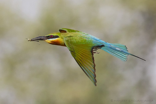 Blue tailed bee-eater with prey