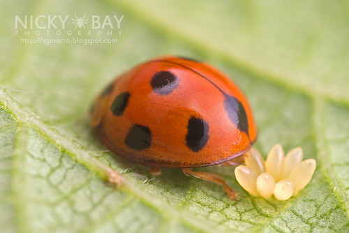 Ladybird laying eggs (Coccinellidae) - DSC_5804