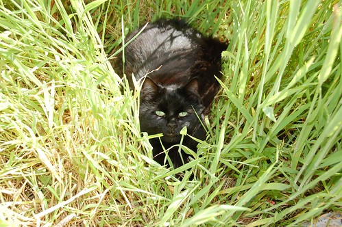 raven in the grass